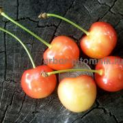 Buy seedlings ZKS in Moscow and Moscow region