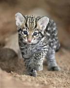 Доступны экзотические котята бенгалии, оцелота, каракала