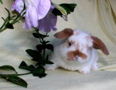 dwarf rabbits for any occasion and for any family