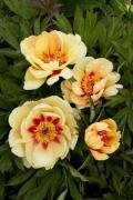 Peonies ITO-hybrids for planting