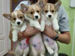 Sell: Welsh Corgi Pembroke puppies in Moscow